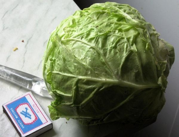Савойскую капусту Золотая ранняя (Поиск) уже в июне можно использовать для салатов