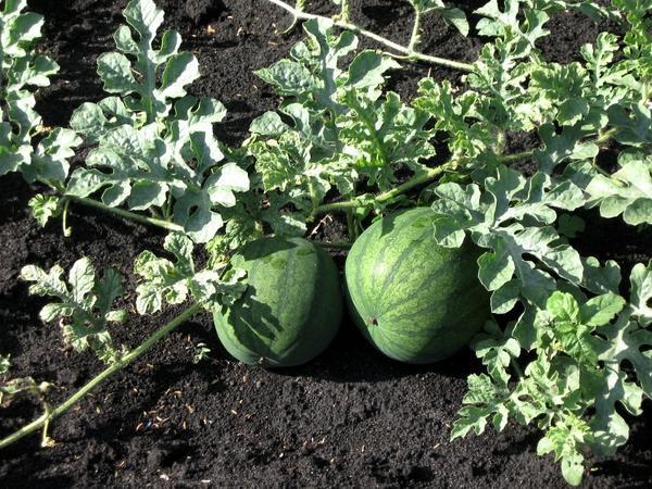 Арбузы из своих семян, взятых с удачных плодов сорта Ультраскроспелый