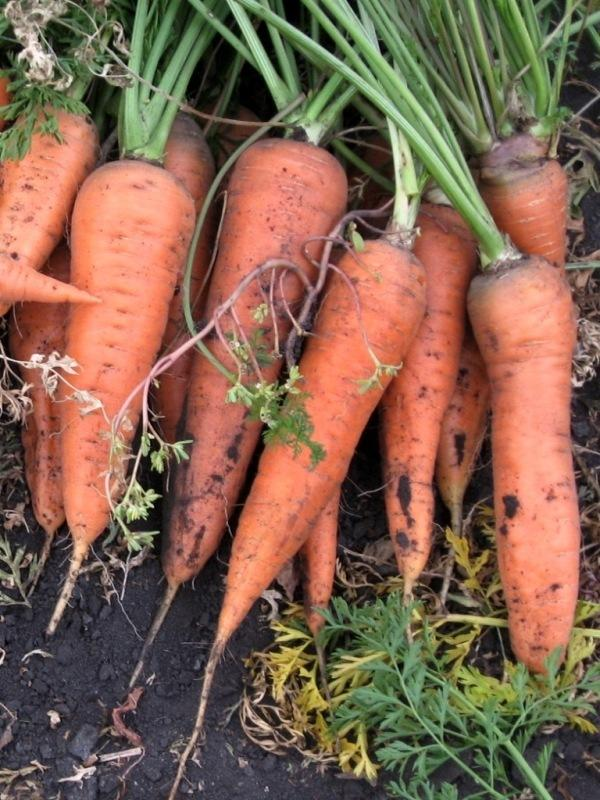 Морковь сортотипа Шантенэ