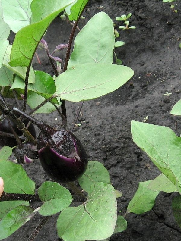 Баклажан Вера (Поиск) в июне наращивает плоды