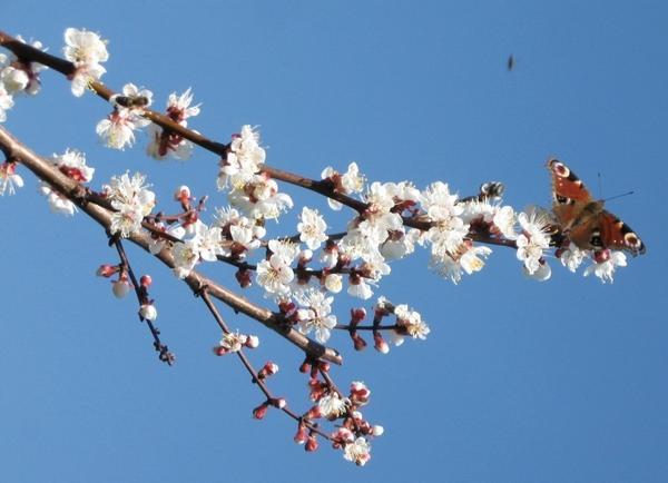 Цветущая ветвь абрикоса