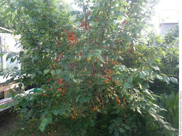Абрикос маньчжурский в моем саду
