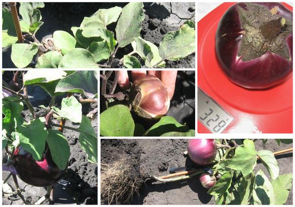 Баклажаны в сложных погодных условиях 2020 года: развитие, сорта, урожай