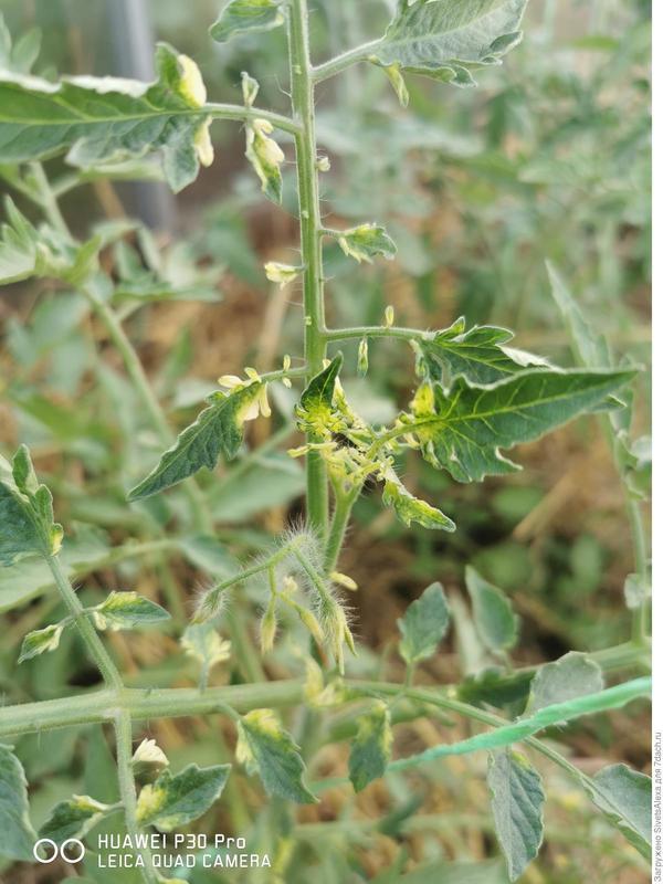 У томатов в теплице скрутило листья и верхушки. Что происходит с томатами?