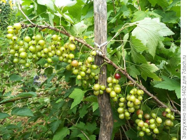 ягоды куста № 3
