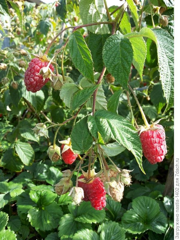 ягоды Брянское диво