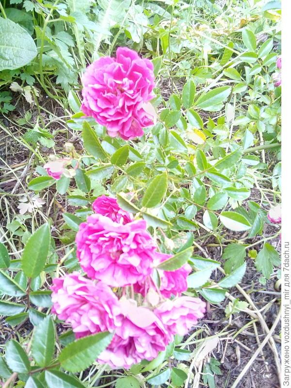 плетущиеся розы в зарослях