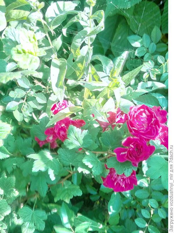 Розы в зарослях