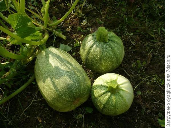 Из семи дочерних растений только одно не повторило родительскую форму.