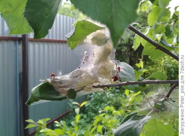 Паутина на яблоне