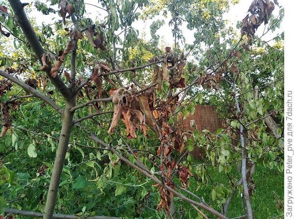 Молодая яблоня болеет, ветви одна за другой засыхают. Помогите определить болезнь и спасти дерево!