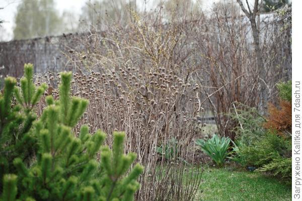 Увидев в саду Марченко лес из высушенных монард, простоявших всю зиму и ранней весной выглядевших просто на пять с плюсом, мой заказчик тут же попросил добавить эти шарики в злаковый цветник.