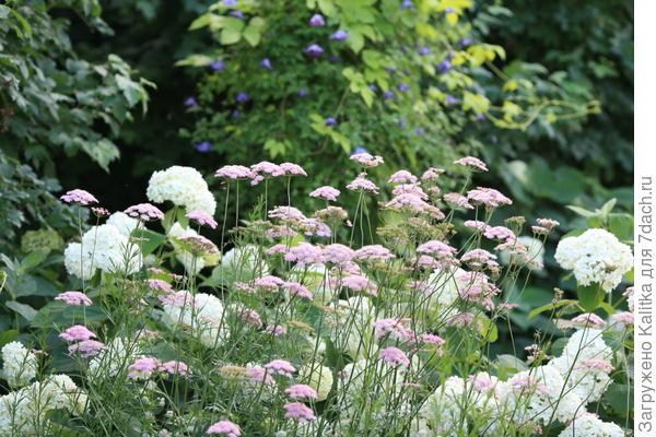 Так уж повелось, что бедренец всегда норовит пролезть вперёд, чтобы красоваться на переднем плане цветника.