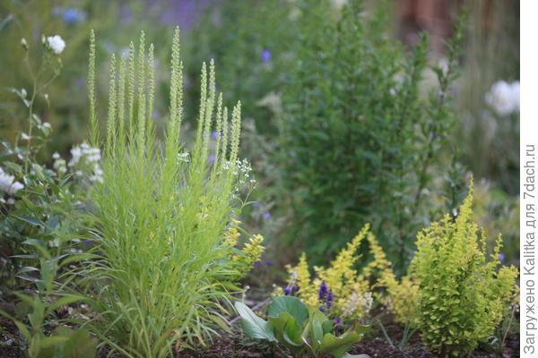 Вертикальный рост, непохожесть ни на одно растение, стебель-ёршик и самое главное - цветок, распускающийся не как все, а сверху вниз.