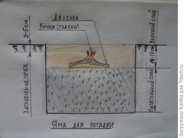 Перед посадкой нижний (питающий) слой уплотняется, затем укладывается делёнка так, чтобы почки возобновления располагались на 3—5 см ниже уровня земли и яма заполняется верхним (укрывающим) слоем.