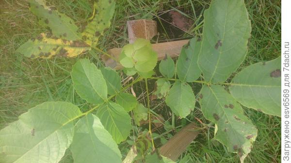 Что это за пятна на листьях?