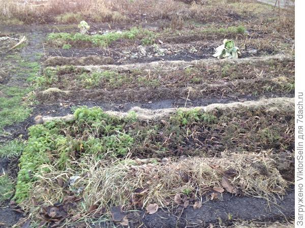 Общий вид - полегшие сидераты и добавил траву