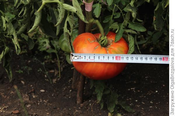 помидорка крупным планом