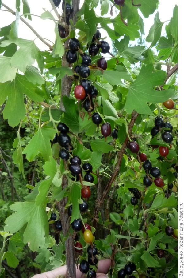 Ветка с ягодами.