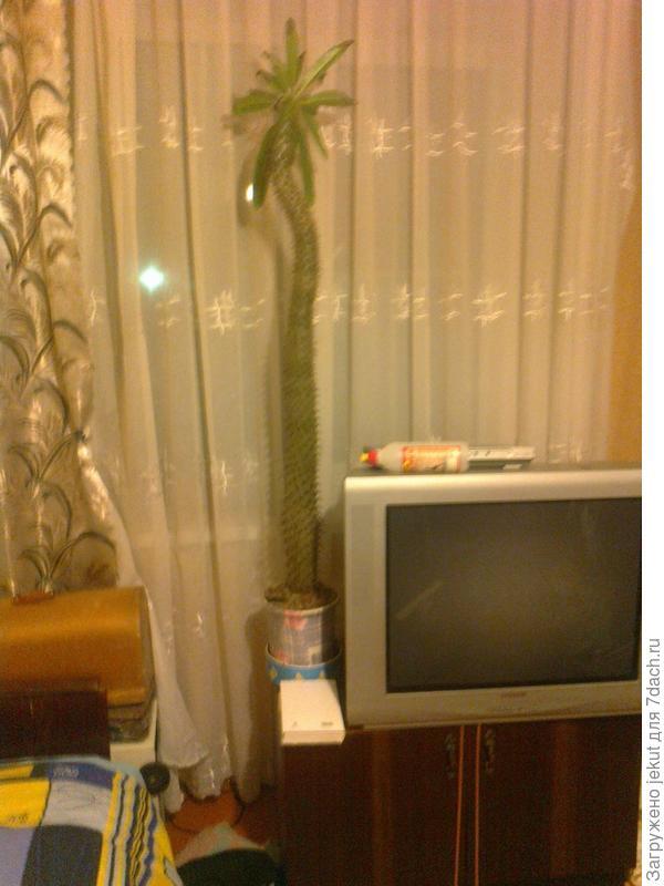 комнатное растение - пахиподиум