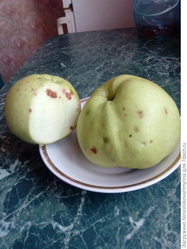 На плодах образуются пятна уже после сбора. Чем болеет яблоня?