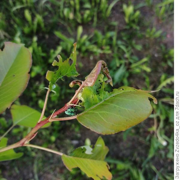 Почему скручены и повреждены листья на верхушках ветвей у груши? Как это лечить?