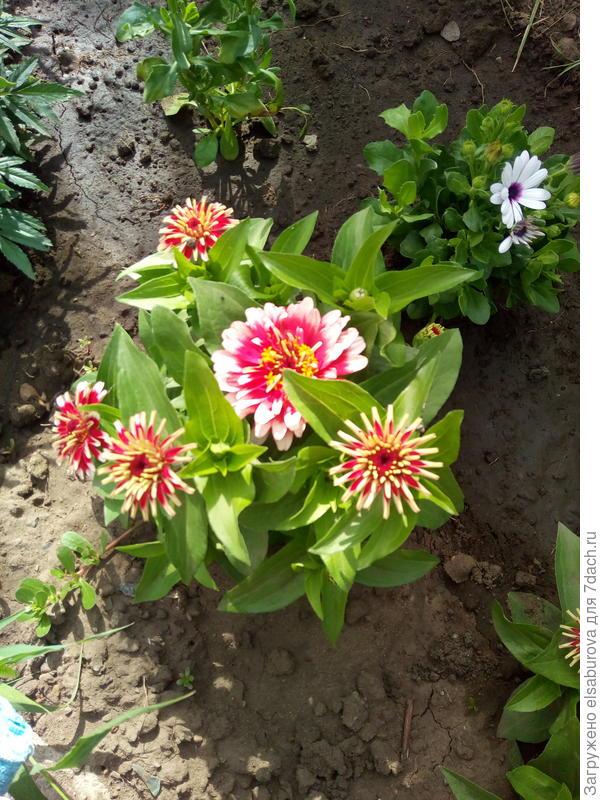 А это моя циния изящная. 20 см. Здесь еще только в начале цветения. Очень яркая и благородная.