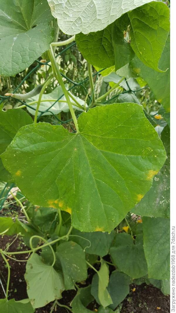 Ёще на листьях желтые пятна появились.