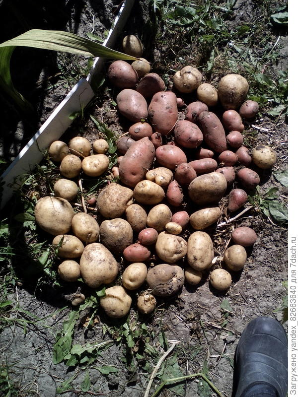насчитала 60 картофелин