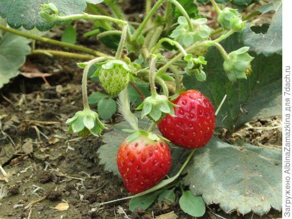 второй год сеянцу Редгонтлета,ягоды появились сейчас,может оказаться ремонтантным.