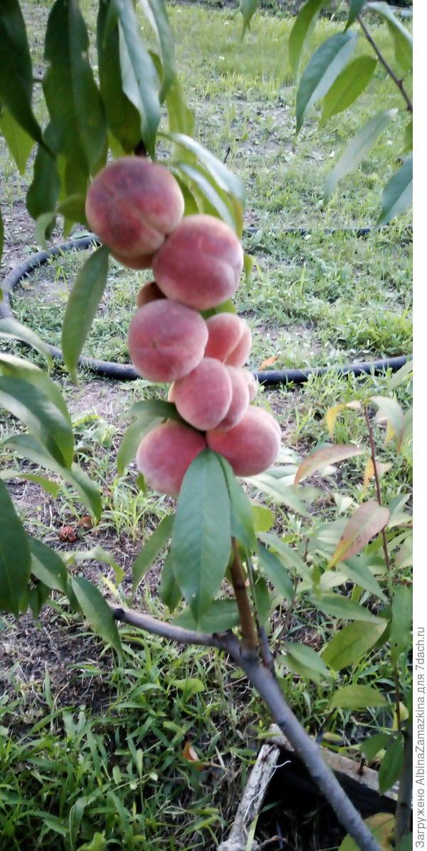 Ранний персик