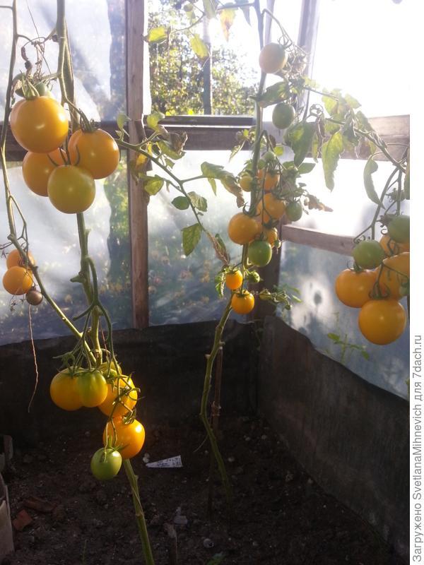 Ромус жёлтый. Вкусный сладковатый томат.