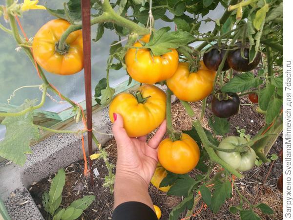 Первые плоды до 375 г. Но в среднем по 200 г