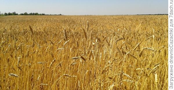 пшеница  поспела