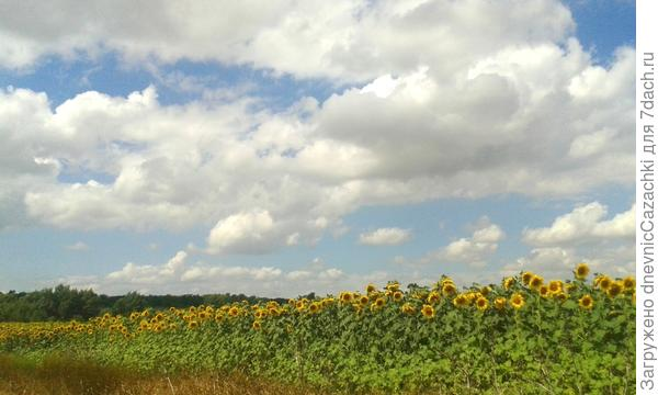 поле  подсолнечника