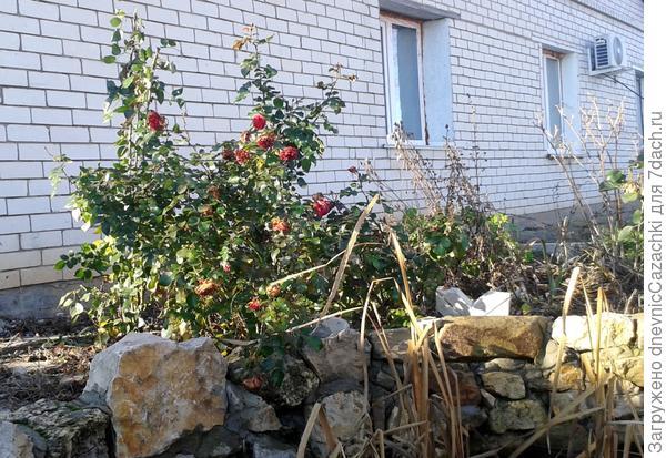 розы у пруда