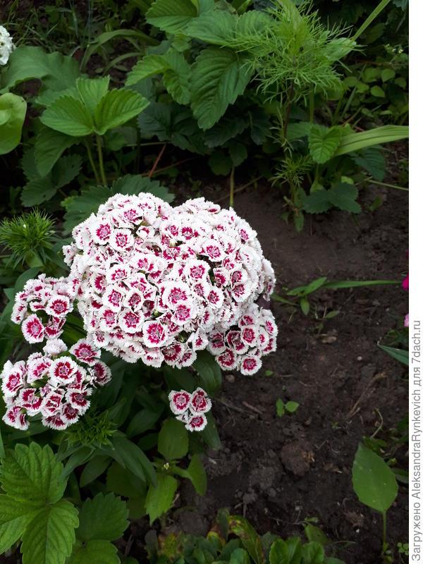 много шикарных махровых турецких гвоздик. это из самосева....очень много расцветок дают. от обычной избавилась уже. запах шикарный. вот бы только все лето цвела....(((