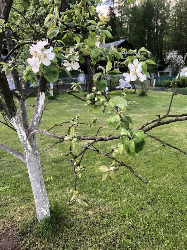 После обрезки яблоня заболела. Можно ли ей как-то помочь?