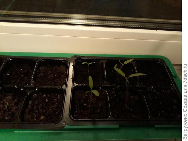 Пока томатики ещё малыши, им чуть больше двух недель. А рядом кассета почти пустая, один томатик, и тот 6 дней назад вылез. Малююююсенький.