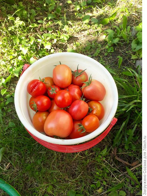 А это первое 5 литровое ведёрко с поспевшими томатами. Так вкусно пахнут! Крупные -  на салат, помельче - в банки.
