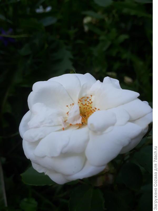Вот тебе розочка из моего сада.