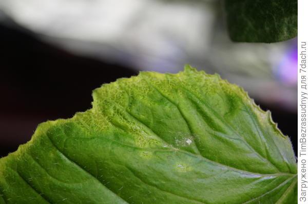 болезнь тыквы