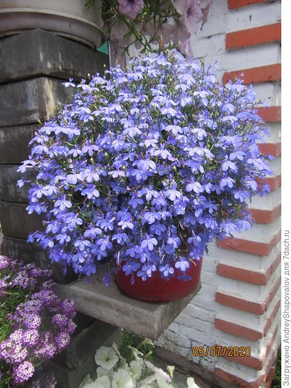 Лобелия вегетативная Star Blue. Опыт выращивания