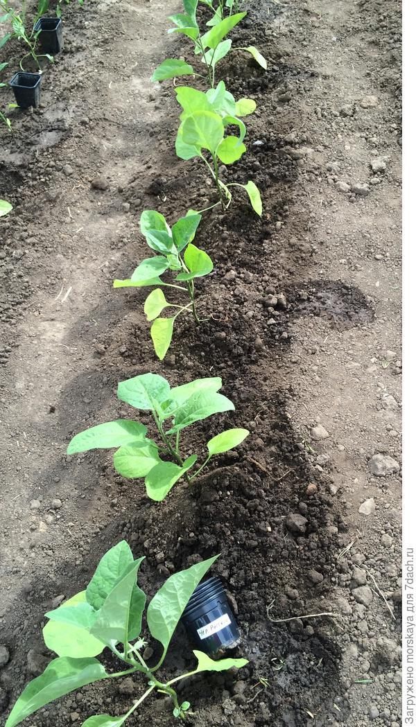 общее фото 5 растений Черный Русский