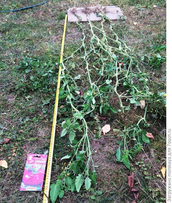 высота растений 2,1 м