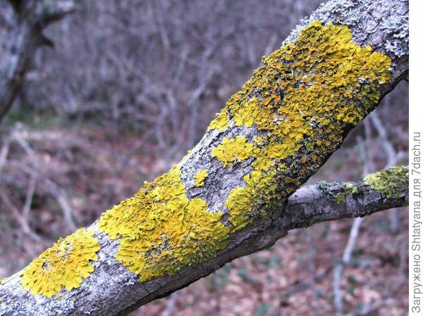 лишайник на ветке дерева