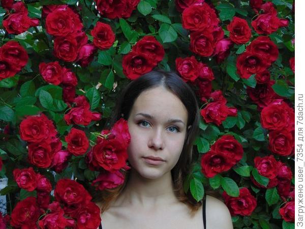 Как называется сорт плетистой розы?