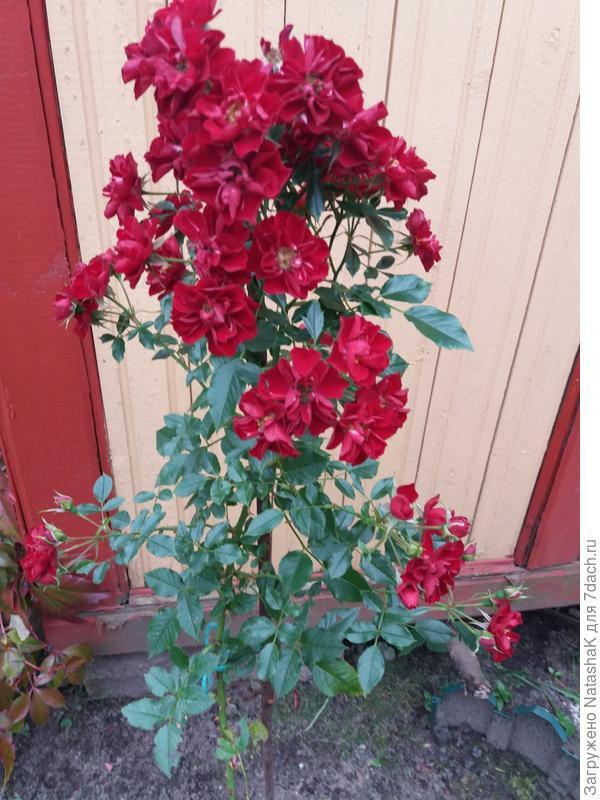 Роза почвопокровная Red Fairy