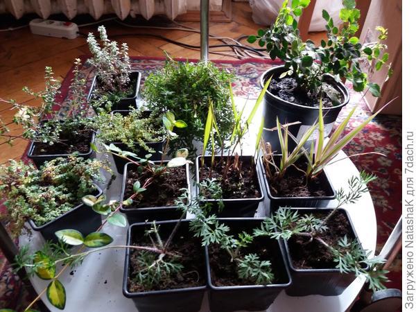 Альпийские растения (кроме розочки)
