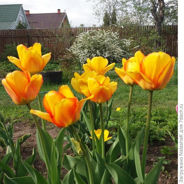 В середине - тюльпановый отпрыск
